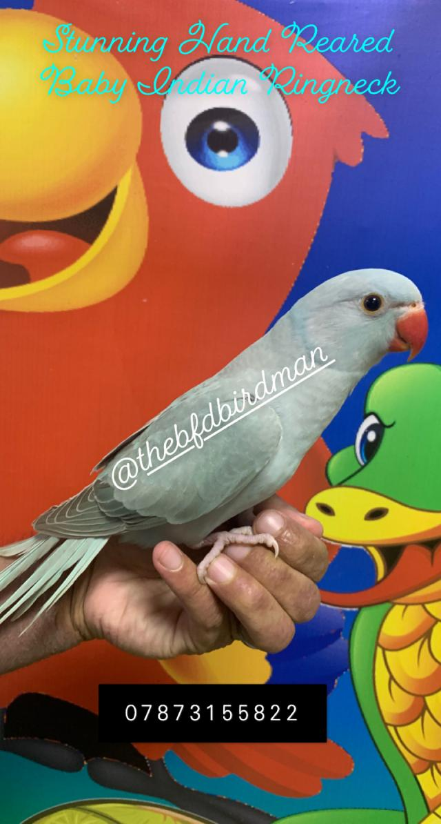 Preview of the first image of Stunning Hand Reared Baby Indian Ringneck.