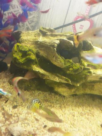 Image 1 of fantail endlers guppys assorted species fish