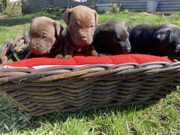 Image 4 of Patterdale Terrier Pups **DEPOSITS TAKEN ON ALL PUPS **
