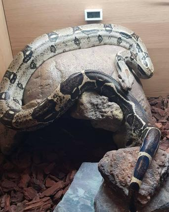 boa constrictor - Reptiles, Rehome Buy and Sell in Clanfield