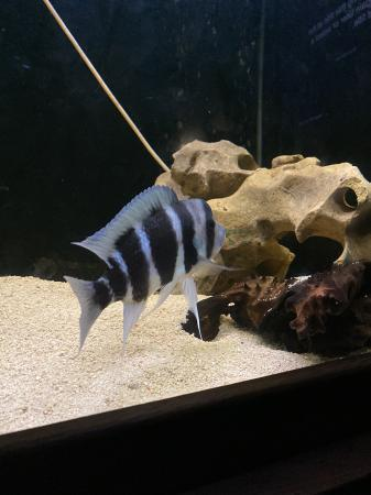 Image 1 of African Cichlid Frontosa Tropical Fish