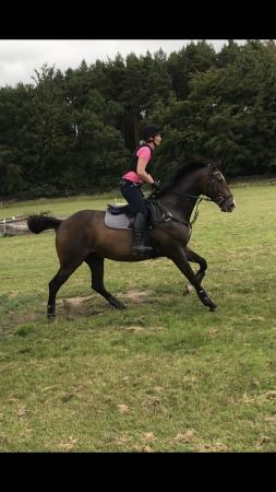 Image 1 of 16.2 Gelding for part loan