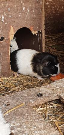 Image 8 of guinea pigs babies ready now