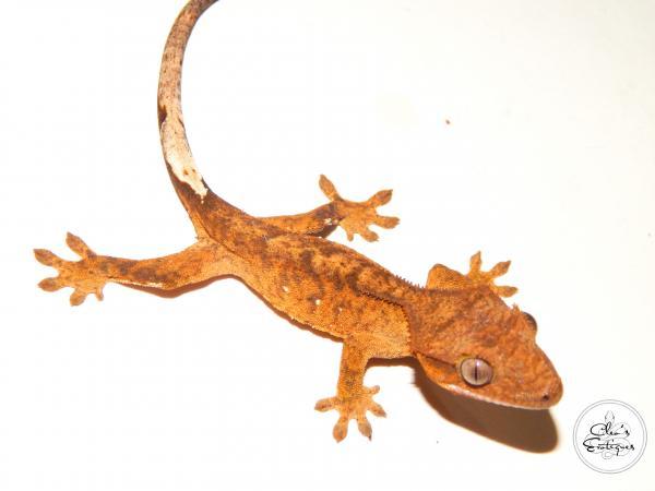 Image 2 of Unsexed orange brindle Crested Gecko