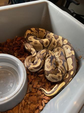 Image 2 of 1.0 Fire Ball Python (royal python) Adult
