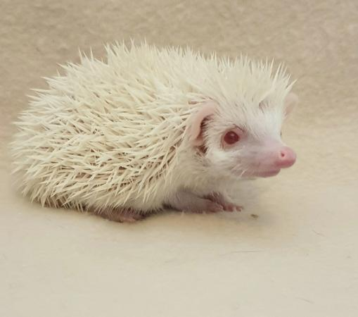 Image 2 of Stunning African Pygmy Hedgehogs - APH Club Approved