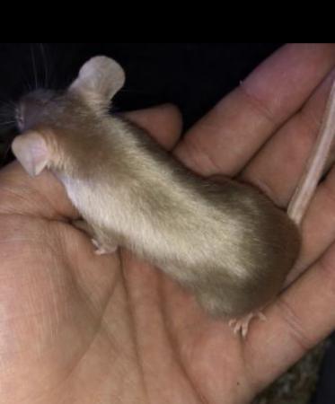 Image 3 of Female fancy mice
