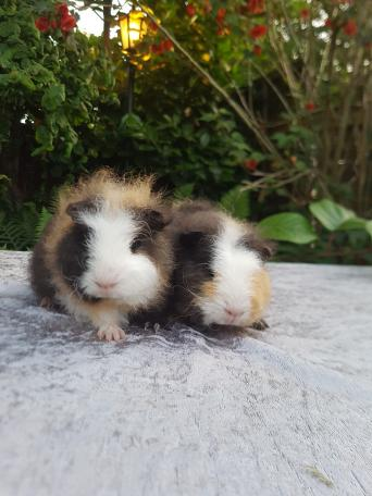 guinea pigs - Rodents, Rehome Buy and Sell | Preloved