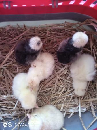 Image 4 of White crested Black and Splash Poland Chicks available