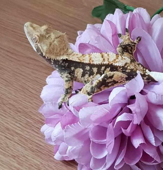 Preview of the first image of female crested gecko.