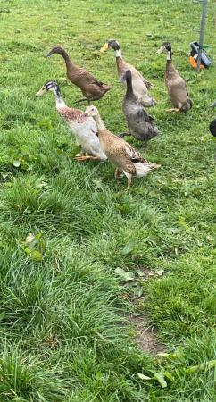 Image 3 of Mixed Indian runner hatching eggs X6