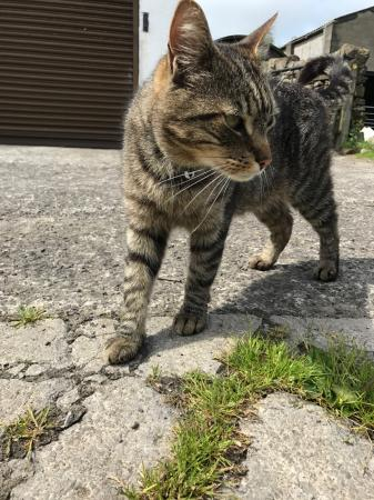 Image 5 of STANLEY MISSING  SINCE 30/11/2017 TABBY NEUTERED MALE CAT
