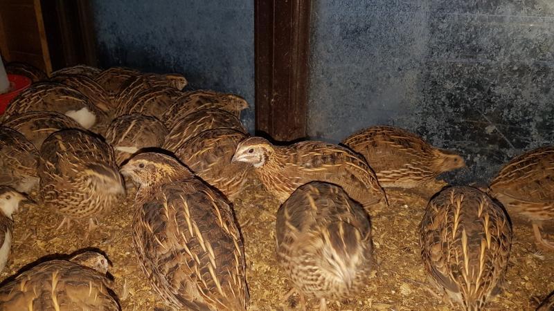 Image 1 of Japanese quail