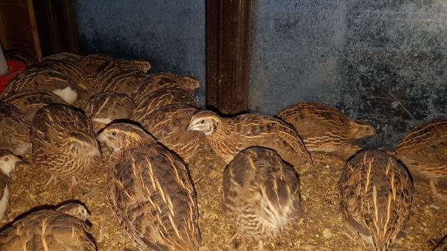 Preview of the first image of Japanese quail.