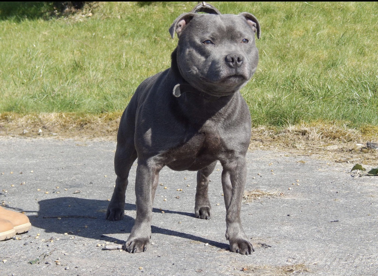 Blue Staffy For Sale : Blue staffy dogs puppies rehome buy and sell in lancashire