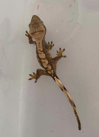 crested geckos - Reptiles, Rehome Buy and Sell | Preloved