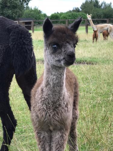 Alpaca Weanlings For Sale For Sale In Epworth Yorkshire