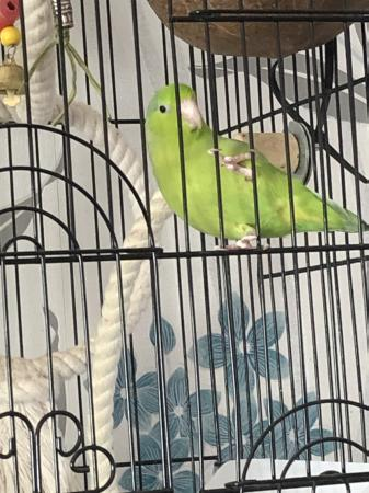 Image 2 of Semi tame female parrotlet