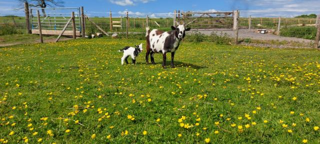 Preview of the first image of Pygmy Goat Nannie with kid.