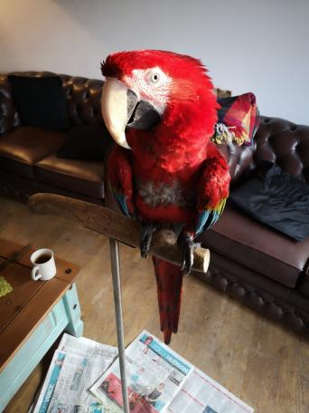 green wing macaws - Birds, For Sale | Preloved