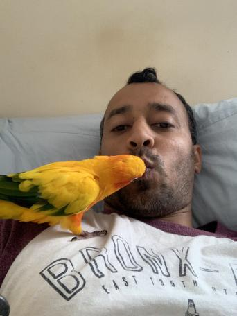sun conure - Birds, Rehome Buy and Sell   Preloved