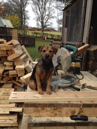 Image 2 of Border terrier x puppies for sale.