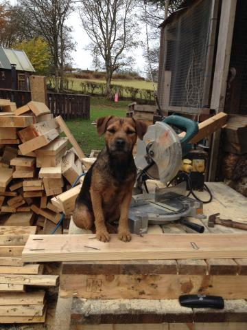Preview of the first image of Border terrier x puppies for sale..