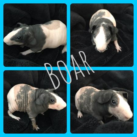 Image 1 of Skinny pig babies ready for forever homes
