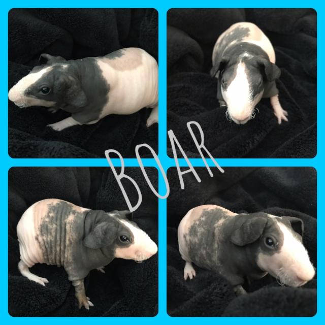 Preview of the first image of Skinny pig babies ready for forever homes.