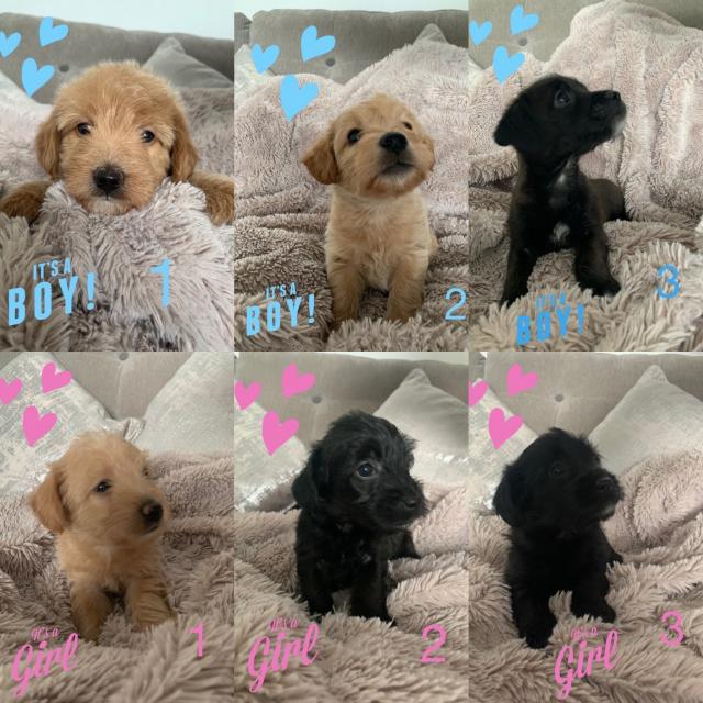 Preview of the first image of Jackapoo puppies.