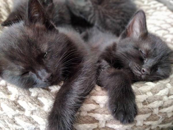Image 8 of Black kittens