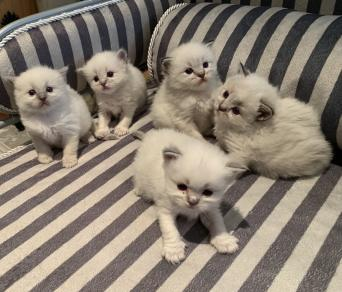 Ragdoll Cats and Kittens to Rehome, Buy and Sell | Preloved