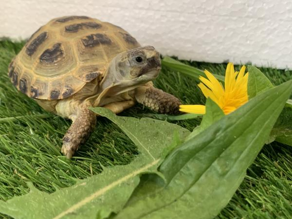 Image 1 of Baby Horsfield tortoise and brand new complete setup