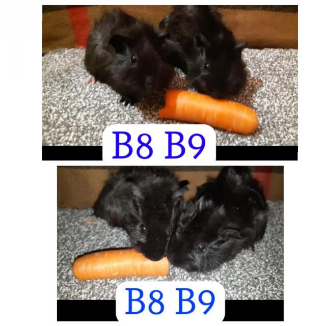 Preview of the first image of guinea pigs all sexes please see pics.