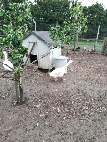 pekin ducks - Local Classifieds, For Sale in Suffolk | Preloved