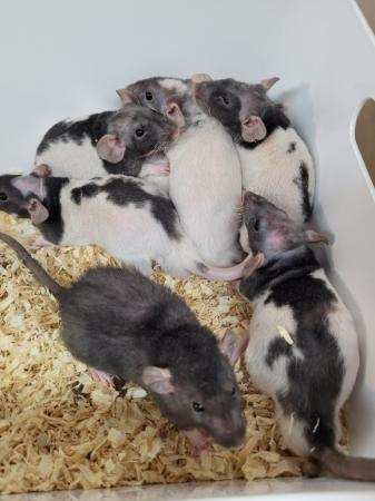 Image 3 of Double Rex rats (patchwork hairless)