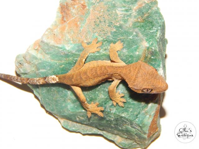 Preview of the first image of Brindle Crested Gecko.