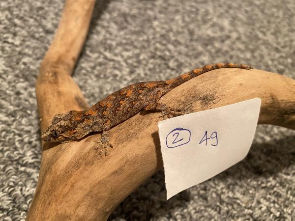 Image 1 of Gargoyle geckos
