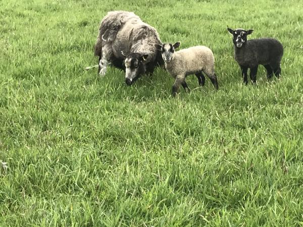 Image 1 of Shetland ewes with lambs at foot