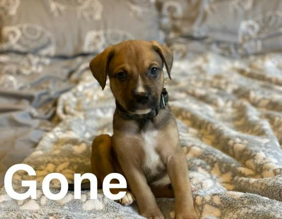 Image 4 of German shepard X Staffordshire Bull Terrier (GSDXSTAFF)