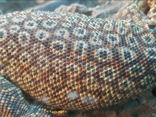 Image 2 of RESCUE/rehab/Rehoming - Monitor lizards