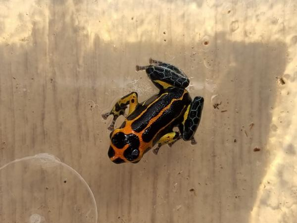 Image 4 of Ranitomeya Imitator Varadero dart frog