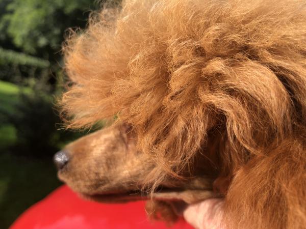 Image 2 of K.C Registered Red Toy poodle for stud