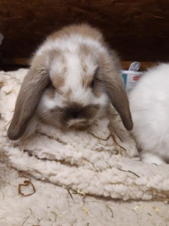 Image 2 of Mini Lop Rabbits