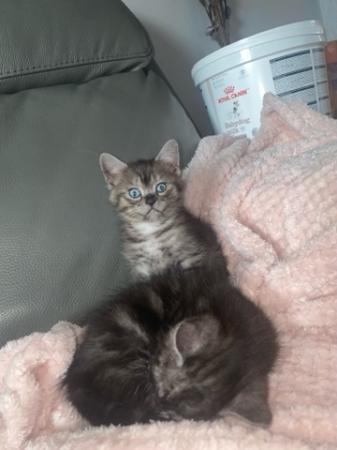 Image 3 of Chinchilla persian cross kittens