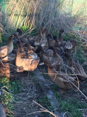 Image 3 of Karki Campbell Ducks or hatching eggs