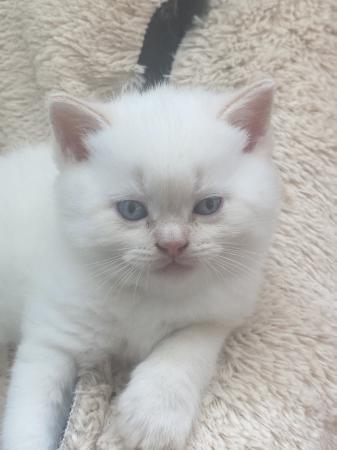 Image 3 of Stunning colourpoint Persian kittens