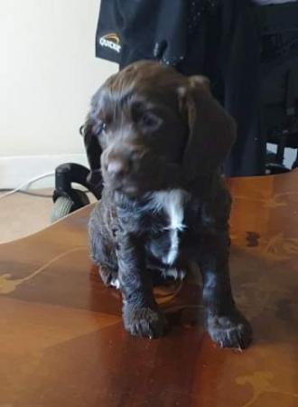 Image 2 of KC registered Cocker Spaniel puppies