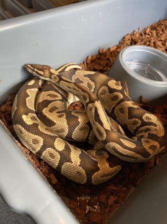 Image 1 of 1.0 Fire Ball Python (royal python) Adult