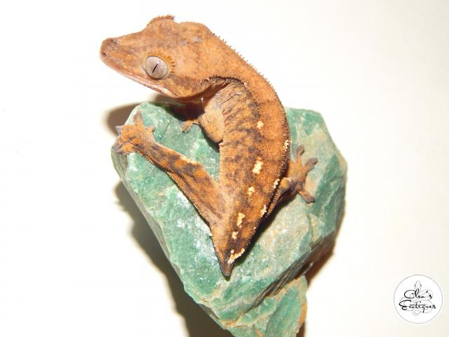 Preview of the first image of Unsexed orange tricoloured crested gecko.